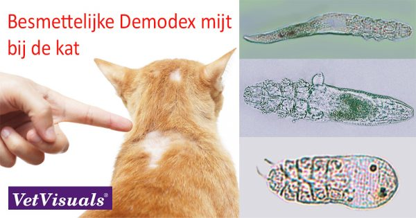 demodex kat
