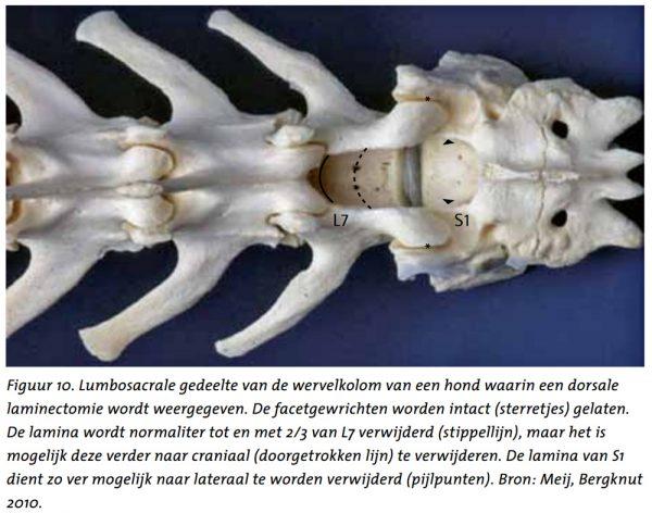 Degeneratieve lumbosacrale stenose (DLSS) bij de hond