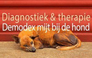 Demodex mijt bij de hond
