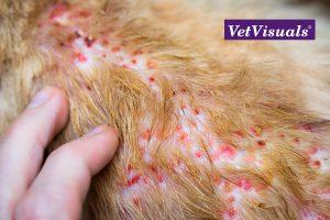 Allergische jeuk: oclacitinib versus lokivetmab dierenarts veterinaire nascholing