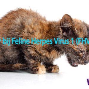 Famciclovir bij Feline Herpes Virus 1 infecties niesziekte