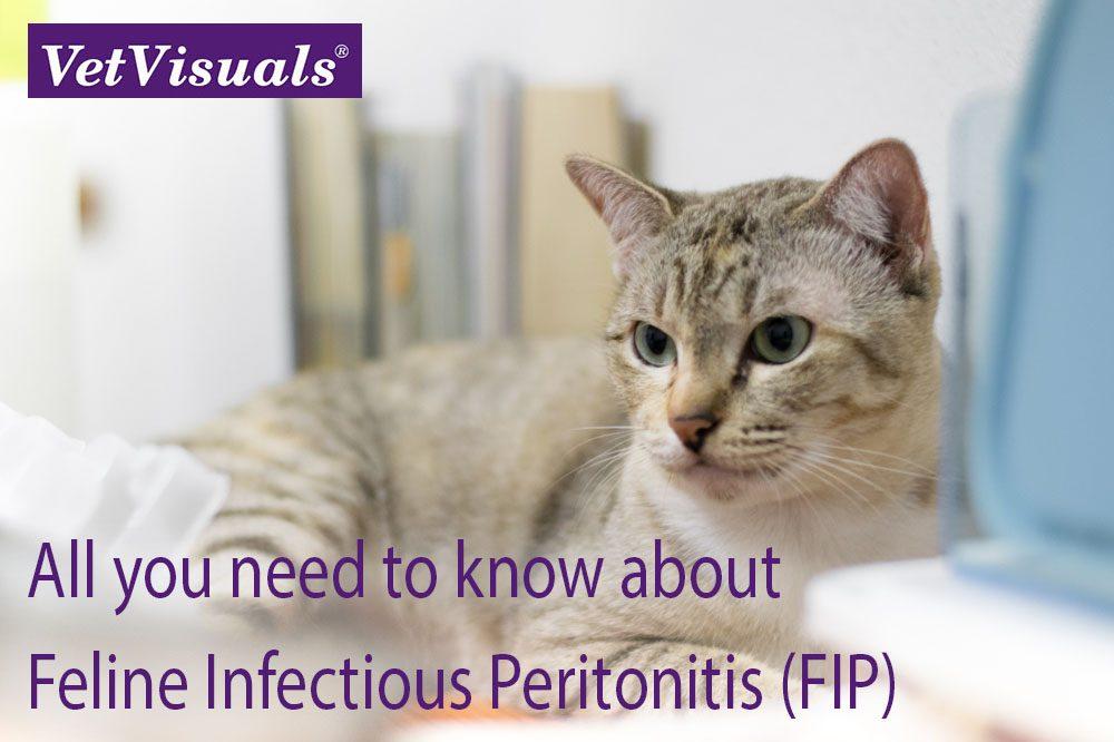Feline Infectious Peritonitis FIP
