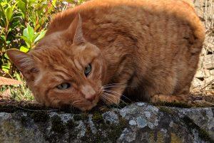 Fentanylpleister bij de kat