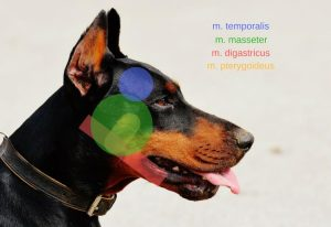 Kauwspiermyositis bij de hond