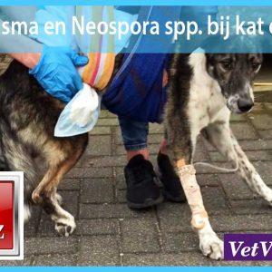 Toxoplasma en Neospora spp. bij kat en hond dierenarts veterinai