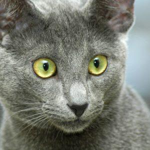 vestibulaire aandoeningen kat