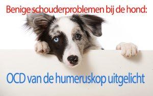 Benige schouderproblemen bij de hond: OCD van de humeruskop uitgelicht