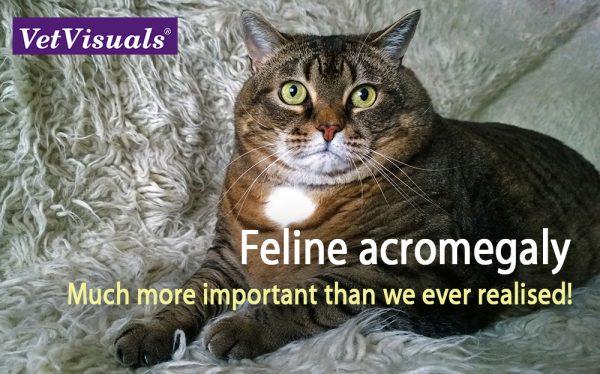 Acromegalie bij de kat